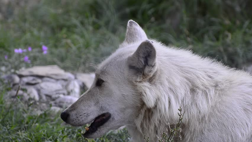 Wolf head in nature. close up of wolf taking rest after a wild hunt