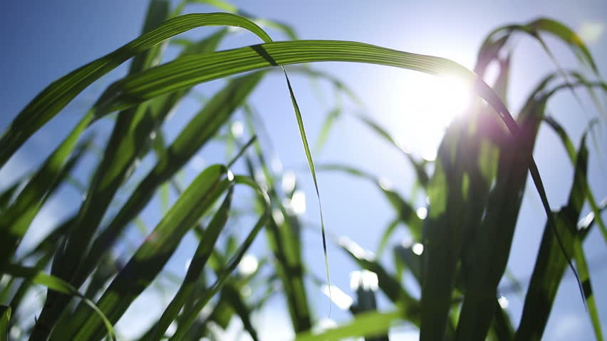 Sugar Cane Grass with glimmering sun in wind