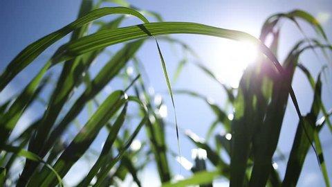 Sugar Cane Grass with glimmering sun in wind