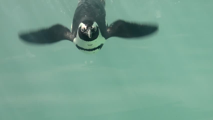 African Penguin under the water