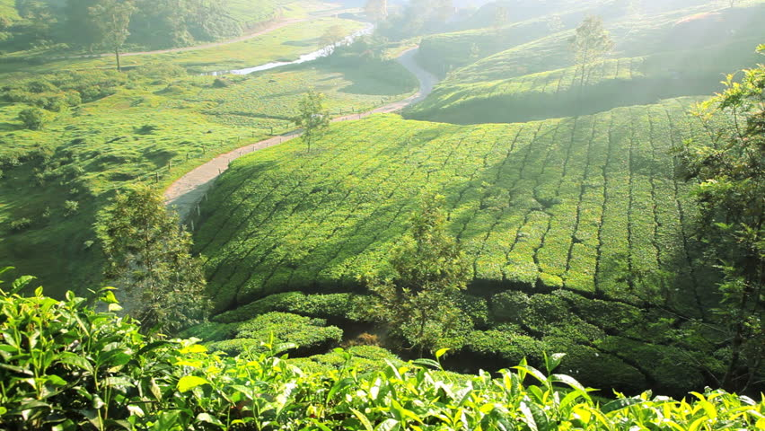 Aerial. Beautiful Landscape At Tea Plantation. Cameron Highlands ...