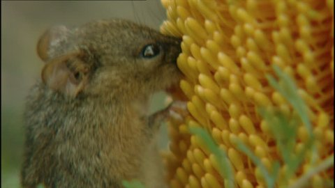 Tiny honey possum feeding off yellow Bottlebrush plant