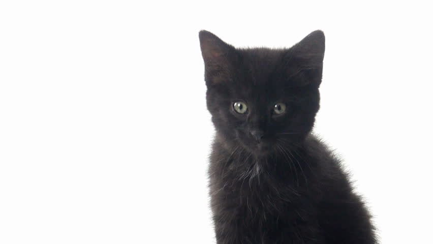 Cute Baby Black American Shorthair Kitten On White
