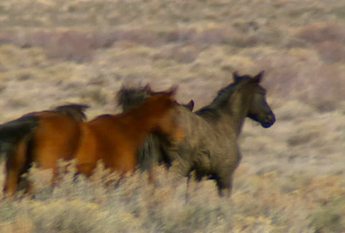 A group of wild horses move across the foothills near Reno, Nevada.