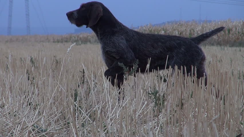 A German Shorthaired Pointer retriever fetches a quail for hunters.