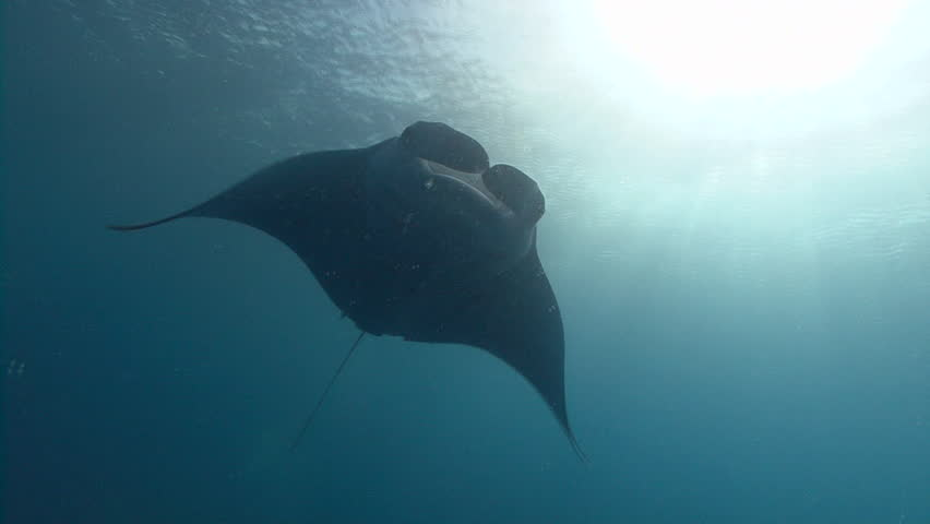 Single Manta Ray swims towards and over viewer, silhouetting sun and exits frame