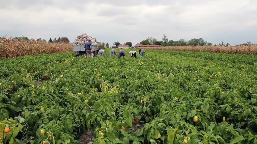 Farm Workers Picking Peppers. Vegetable Growing. Harvesting yellow and red bell peppers in a field.