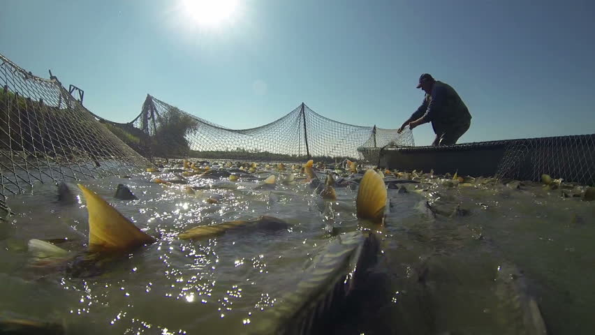 Commercial fishing industry fisherman putting fish catch for Fish catching net