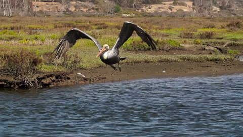 Pelican Flying Towards Camera In Super Slow Motion 240fps Location: Huntington Beach California Source: Sony FS700