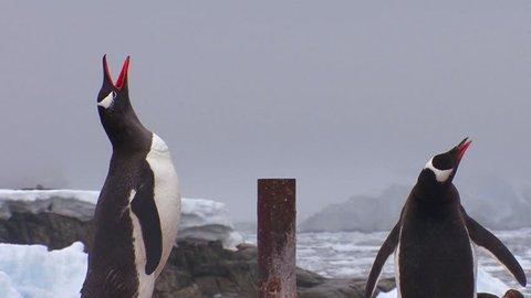 A penguin walks along a rocky path in Antarctica.