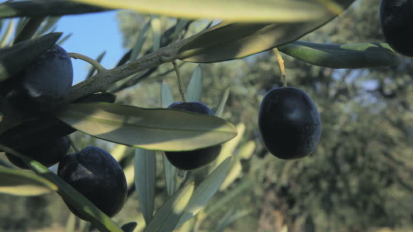 Olive Tree Branch  (2 Pack). 2 Footages in 1 Pack. An olive tree branch has full of ripe fruits. Original Professional Full HD Shot; High Definition Footage #4882313