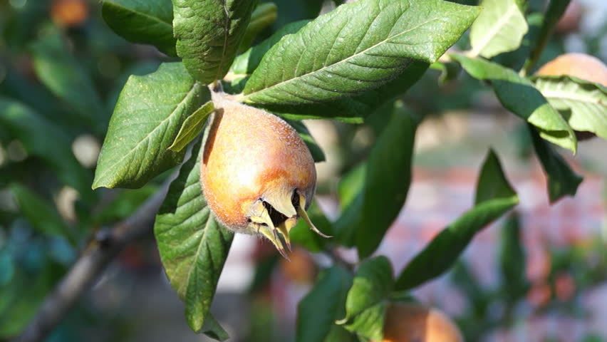 Header of Medlar