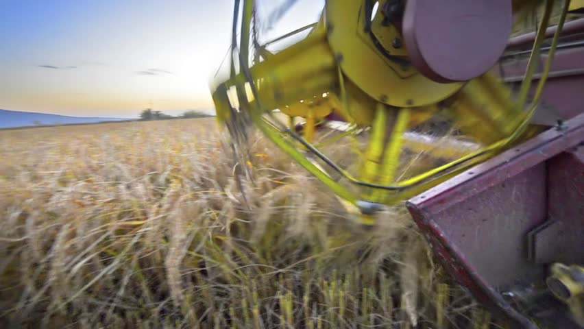 Rice, Wheat harvesting shearers, Combine autumn harvest of the rice and wheat