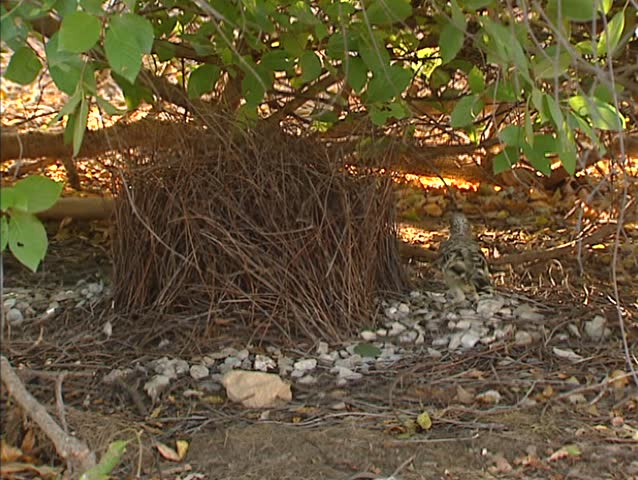 Great Bowerbird (chlamydera nuchalis) building, maintaining its bower. Only a male with a successful bower can attract mates.