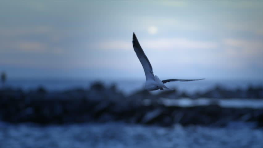 Seagull at dusk or dawn flying away from camera. 240 fps slow-motion.