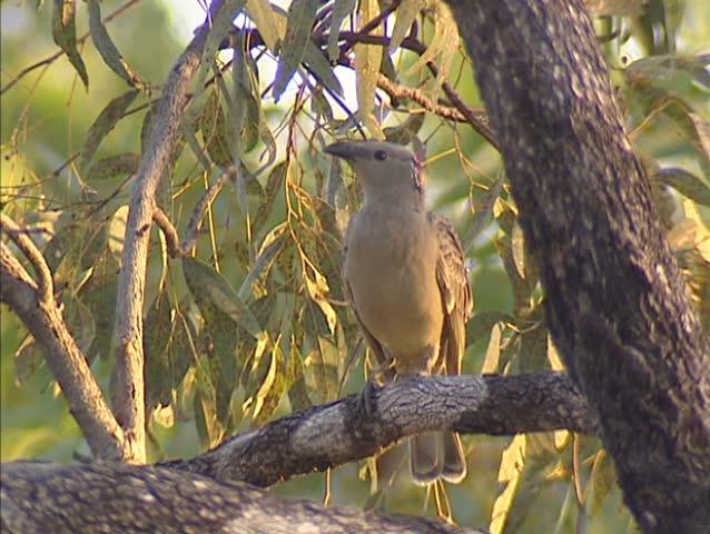 Great Bowerbird (chlamydera nuchalis) on branch, singing.