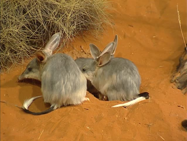Greater Bilby family (Macrotis lagotis) near burrow in red desert. The Bilby prefers arid habitats because of the Spinifex grass and the acacia shrubs.
