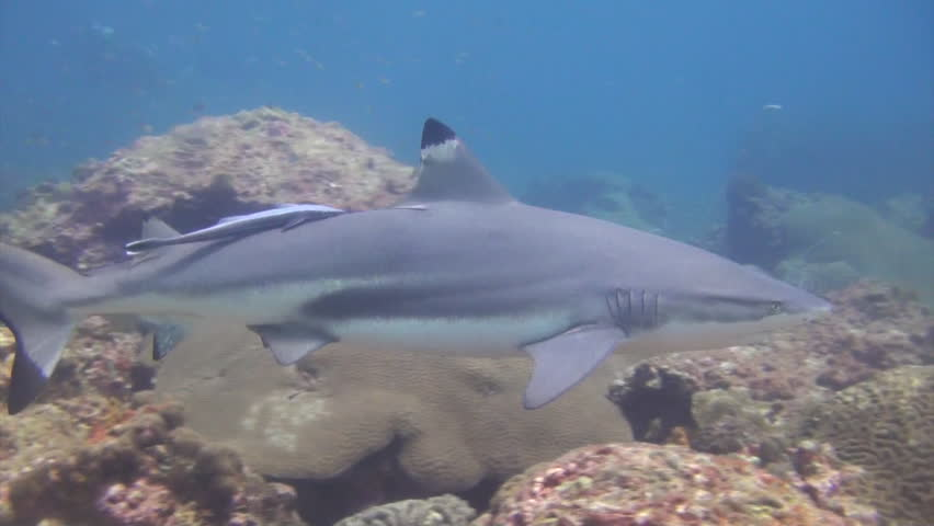 an overview of the tiger sharks in tropical waters and temperatures Attacks by tiger sharks in hawaiian waters have been shown to increase between september and november, when tiger shark females are believed to migrate to the islands to give birth [28] between 1959 and 2000, 4,668 tiger sharks were culled in an effort to protect the tourism industry.