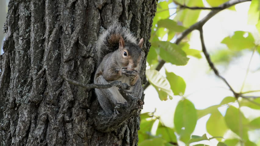 Gray squirrel sitting on a branch in a tree eating acorns