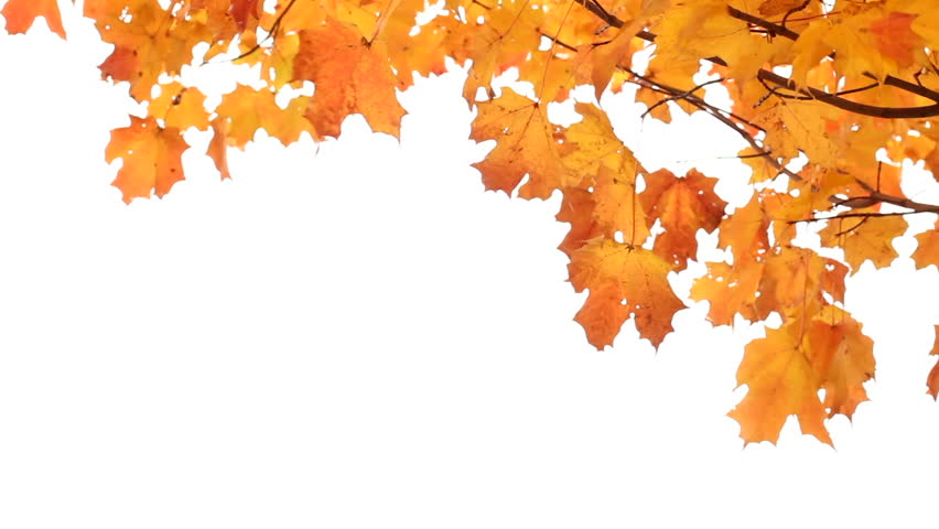 Fall Tree Branch White Background