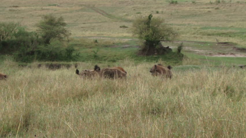 hyenas fight for stolen food