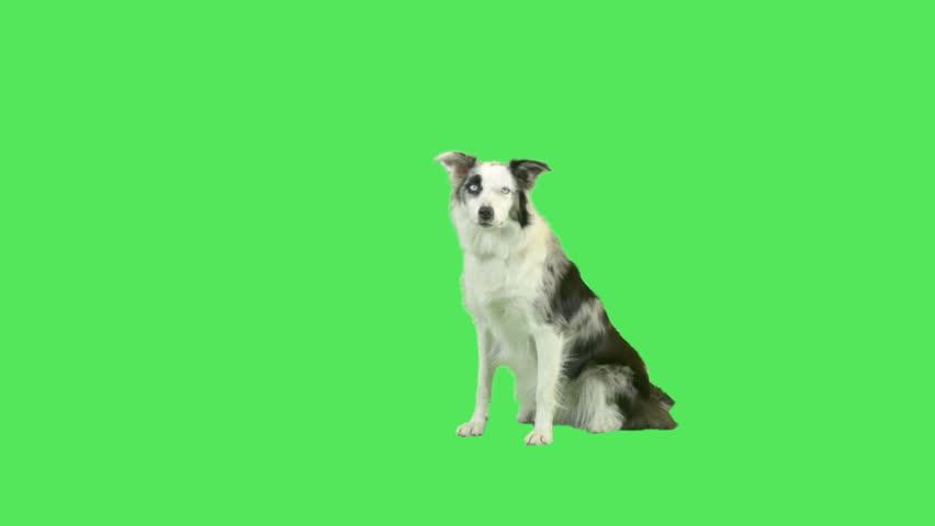 Talking dog in green screen studio