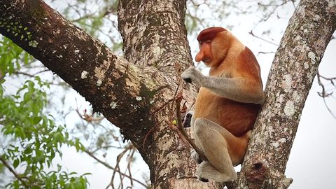 A highly Endangered Proboscis Monkey (Nasalis larvatus) eating in a tree and then jumping off in the wild jungles of Borneo. This is a big fat mature male with a huge nose.