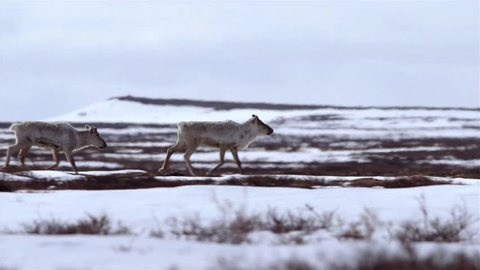 Four Caribou cross frozen tundra.