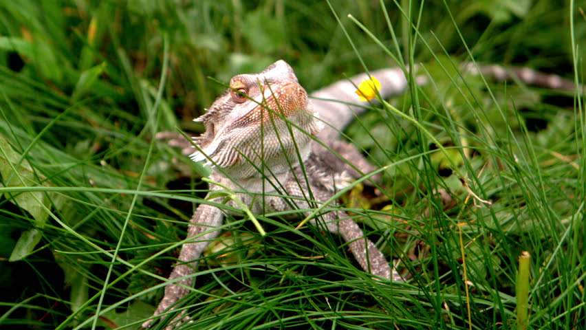Bearded dragon eating a buttercup flower on the grass in slow motion | Shutterstock HD Video #5061239