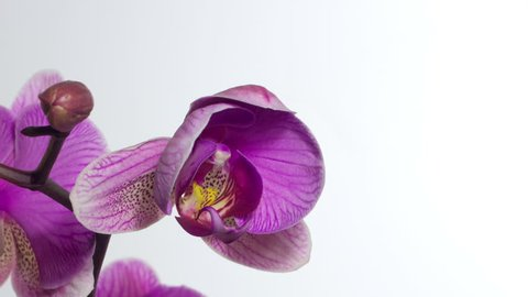Closeup orchid flower blossom growing time-lapse on white background