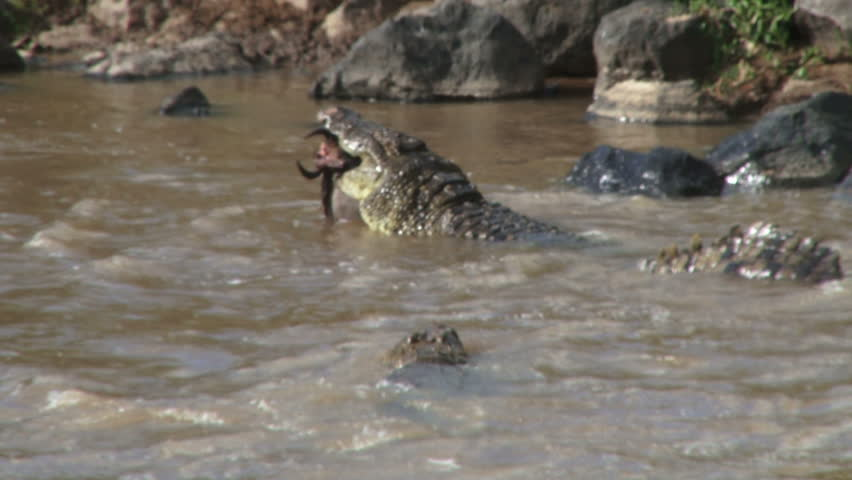 Crocodiles fight for a dead wildebeest.
