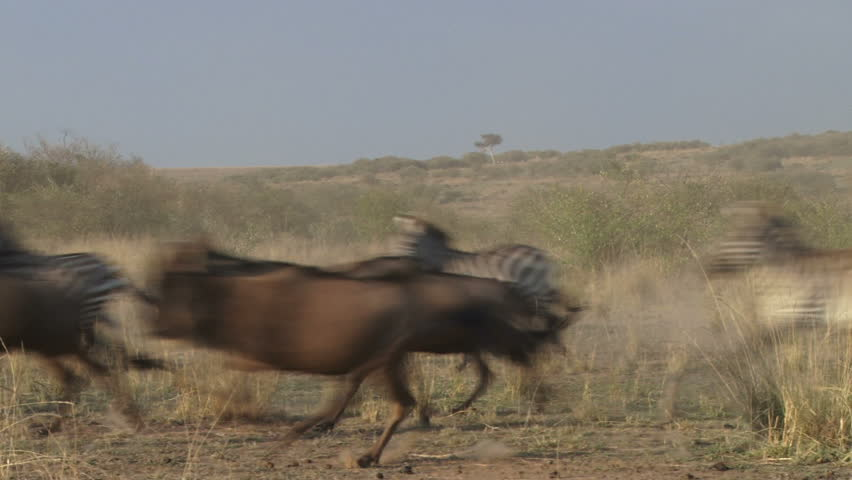 wildebeests pass infront of camera chased by a lion.