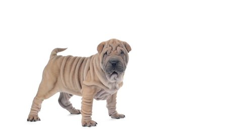 Shar pei puppy standing and looking around, then sits