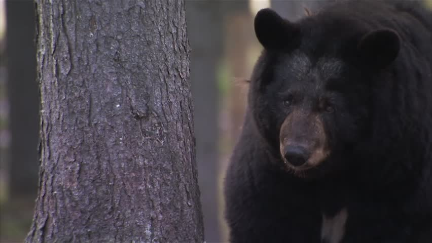 Black bear wandering around a forest. (Zoom)