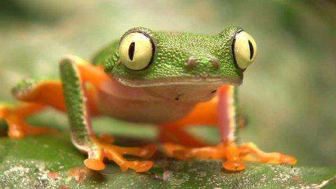 Leaf Frog (Hylomantis hulli) In the Ecuadorian Amazon