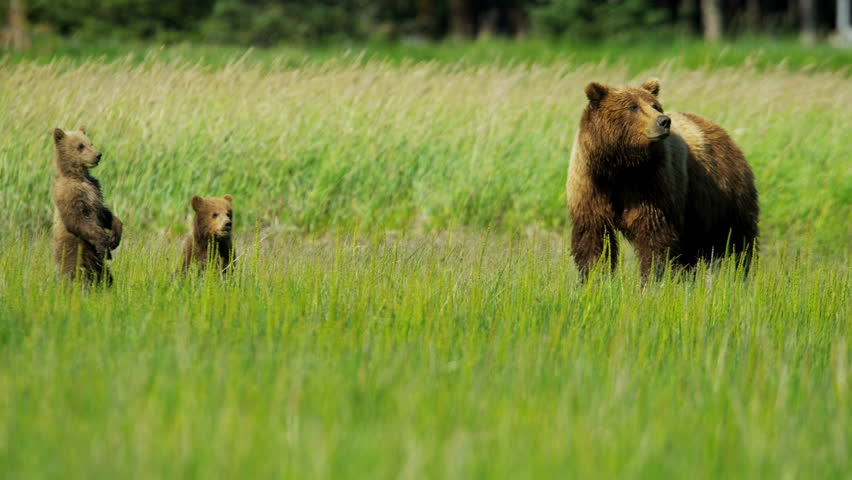 Young Brown Bear cubs inquisitive of their surroundings close to their female summer time on Wilderness grasslands shot on RED EPIC, 4K, UHD, Ultra HD resolution | Shutterstock HD Video #5196566