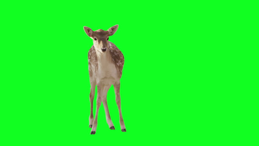 Deer on green screen. Alpha channel included. Shot with red camera ready to be keyed. | Shutterstock HD Video #5243069