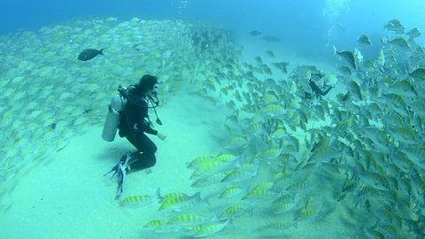 Graybar grunt (Haemulon sexfasciatus), forming a school in a shipwreck, reefs of Sea of Cortez, Pacific ocean. Cabo Pulmo, Baja California Sur, Mexico. Cousteau named it The world's aquarium.