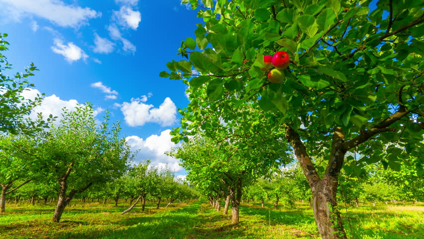 Apple orchard with ripe apples, 4K timelapse  | Shutterstock HD Video #5272136