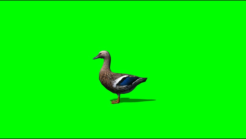 Duck idle Animal green screen Video Footage #5273276