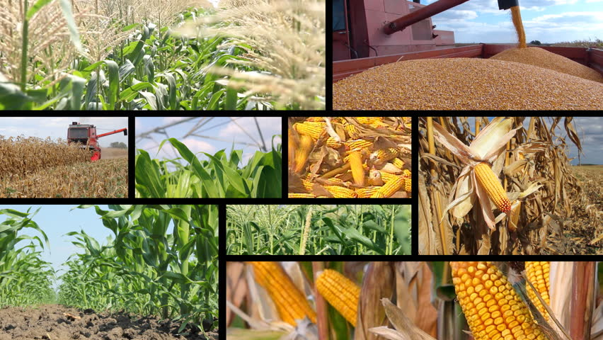 Corn Production - Collage | Shutterstock HD Video #5285606
