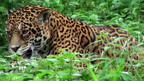 sequence with jaguar, wildlife