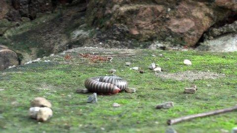 A Millipede (order Spirobolida) wakes up from a defensive, curled position. Taken in Thailand. Phylum: Arthropoda Subphylum: Myriapoda Class: Diplopoda Order: Spirobolida