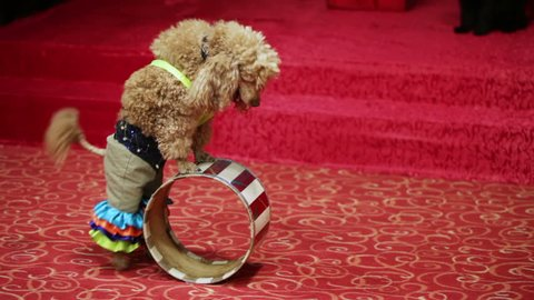 Two well-dressed dog stand on children's birthday party