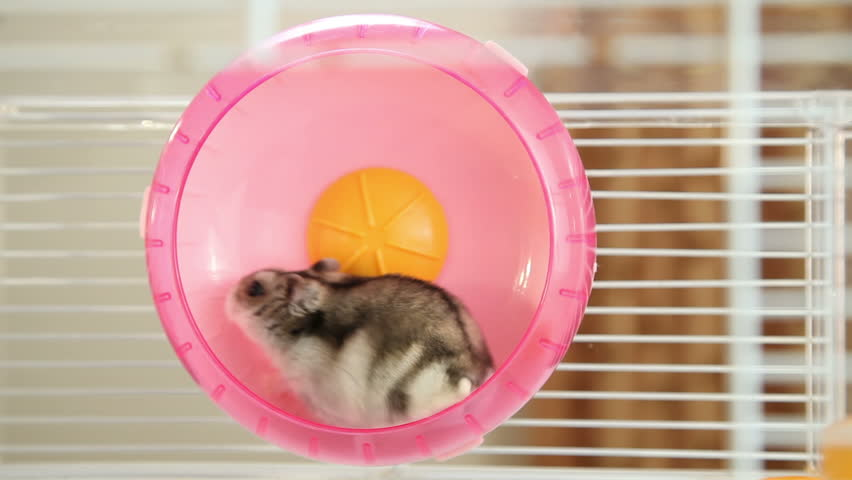 Hamster in wheel | Shutterstock HD Video #5349176