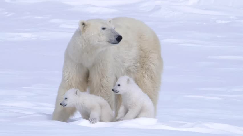 Pair of polar bear cubs sitting with their mother. | Shutterstock HD Video #5370284