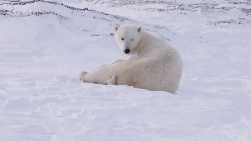 Pair of polar bear cubs lying with their mother in an arctic landscape. | Shutterstock HD Video #5370476