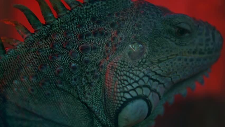 iguana lizard wildlife