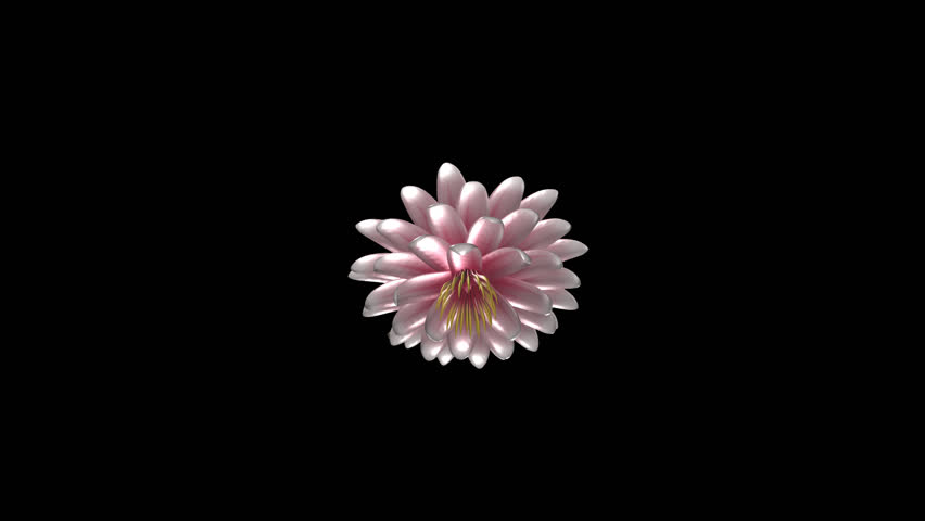 Pink and White Lotus Flower - Rotating Close Loop - Alpha Channel Nice yellow blossom of water lily for your art, business, event, holiday background and particles. Realistic transparent 3D animation. #5389721