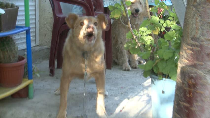 Dog barks and keeps the yard